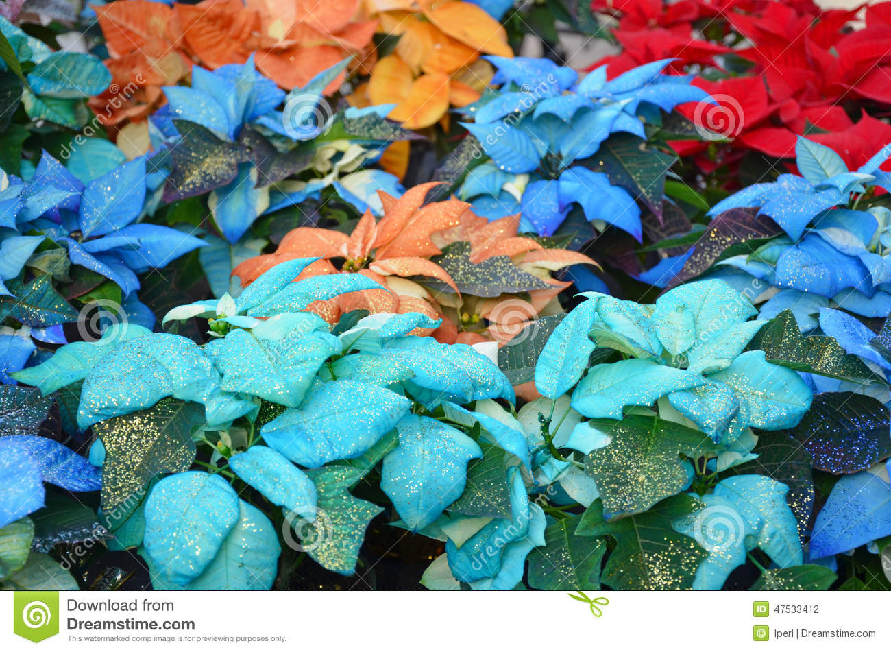 Multicolored Christmas Poinsettias Stock Photo Image Of