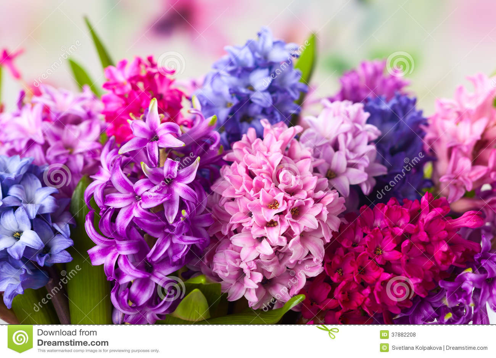 Multicolored hyacinten