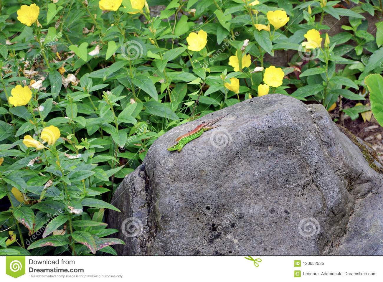 A Multicolored Lizard Crawls Along A Huge Stone Boulder Against The