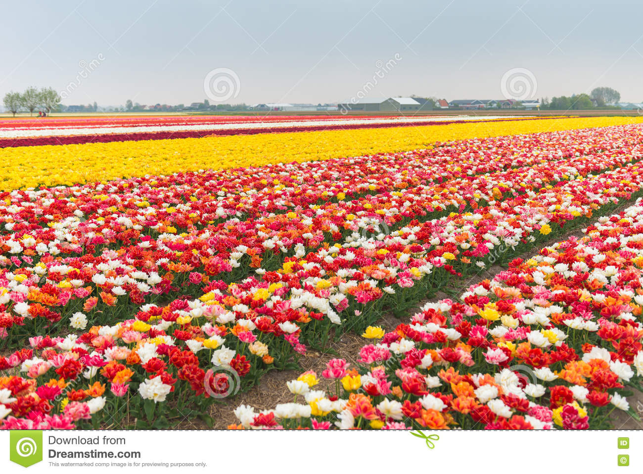 Multicolored Tulip Field In North Holland Stock Image Image Of Field Close 70709957
