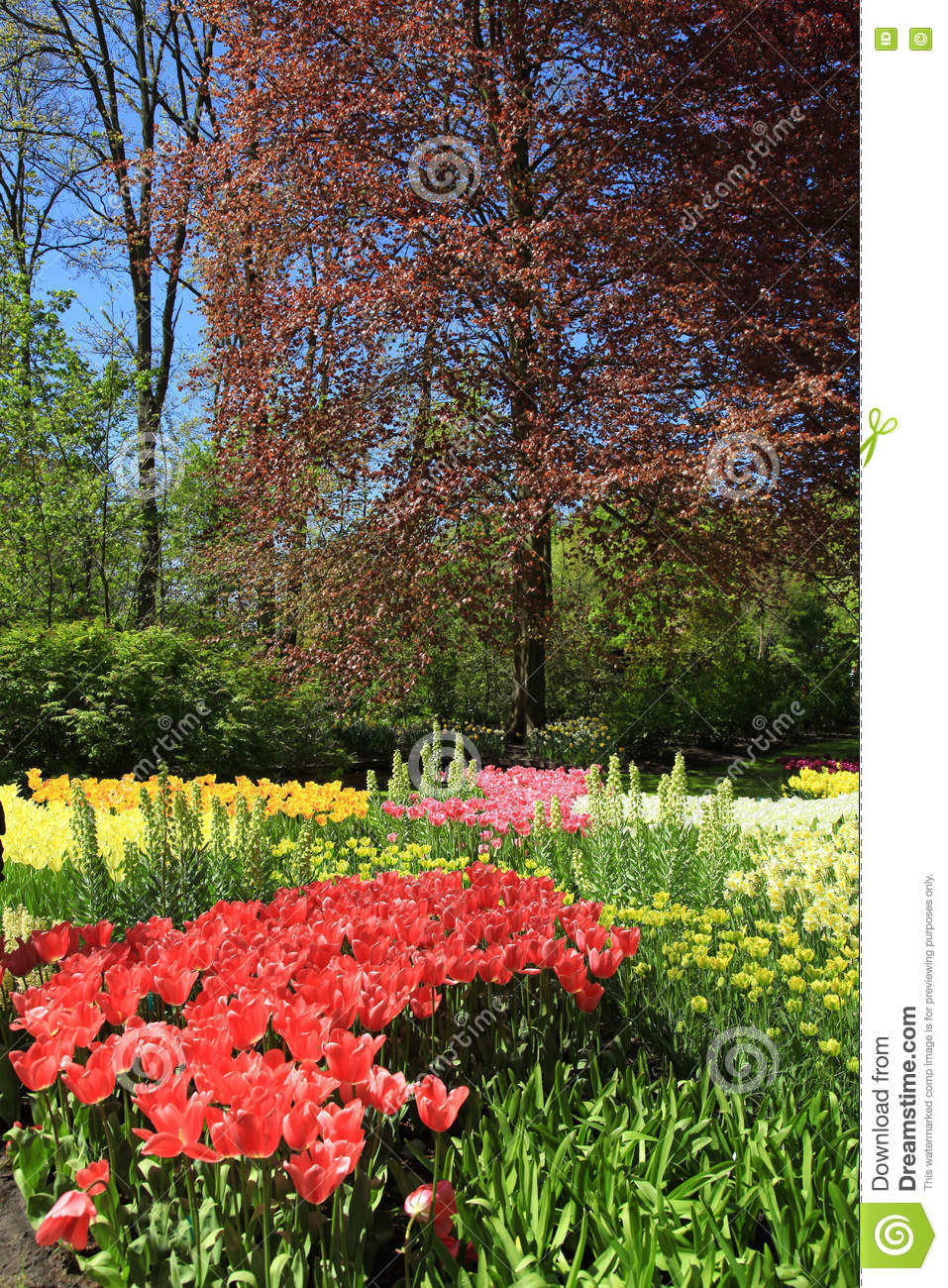 Multicolored Tulips Trees And Flowers In Spring In The Keukenho