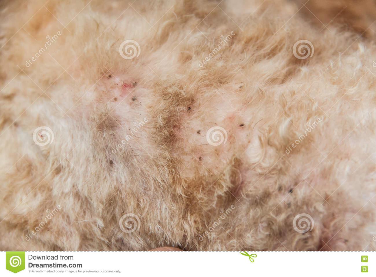 Multiple mites and fleas infected on dog fur skin