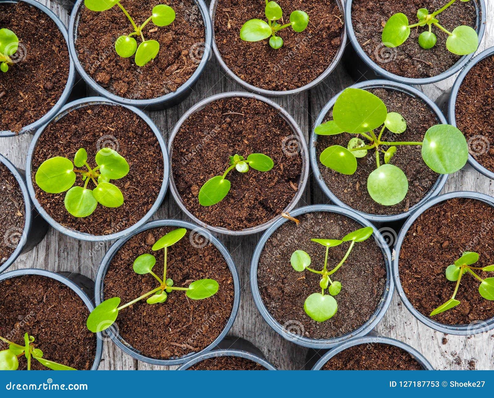 Multiple propagated pancake plant cuttings in black plastic pots