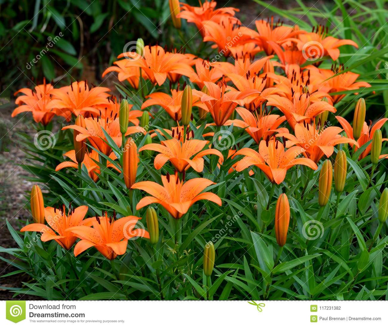 Orange Asian Lilies In Garden Stock Photo Image Of Cluster