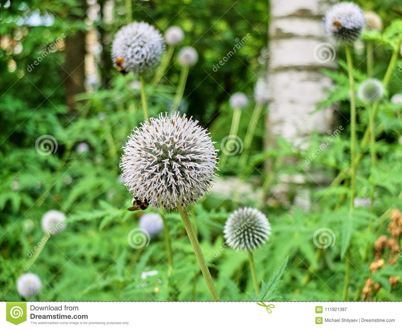 Multiple White Allium Flowers Pollinated By Bees On The Meadow Stock