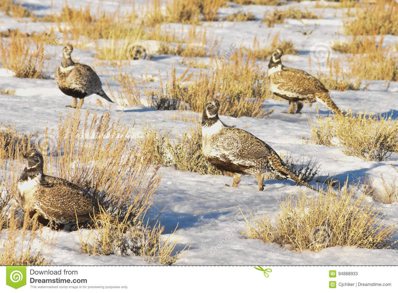 Multiplo di Sage Grouse In Afternoon Sun