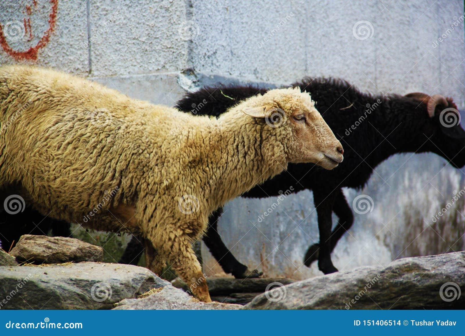 Multitud de las ovejas que caminan en el camino Manali - Leh de la montaña en Darcha, Himachal Pradesh, la India