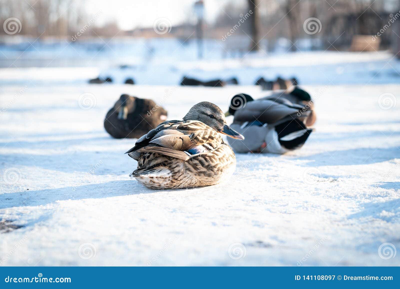 Multitud de los patos salvajes del pato silvestre que descansan sobre nieve delicada