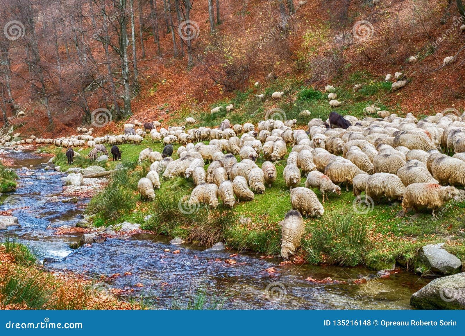Multitud de ovejas y de burros en el banco del río cerca del bosque de la haya del otoño