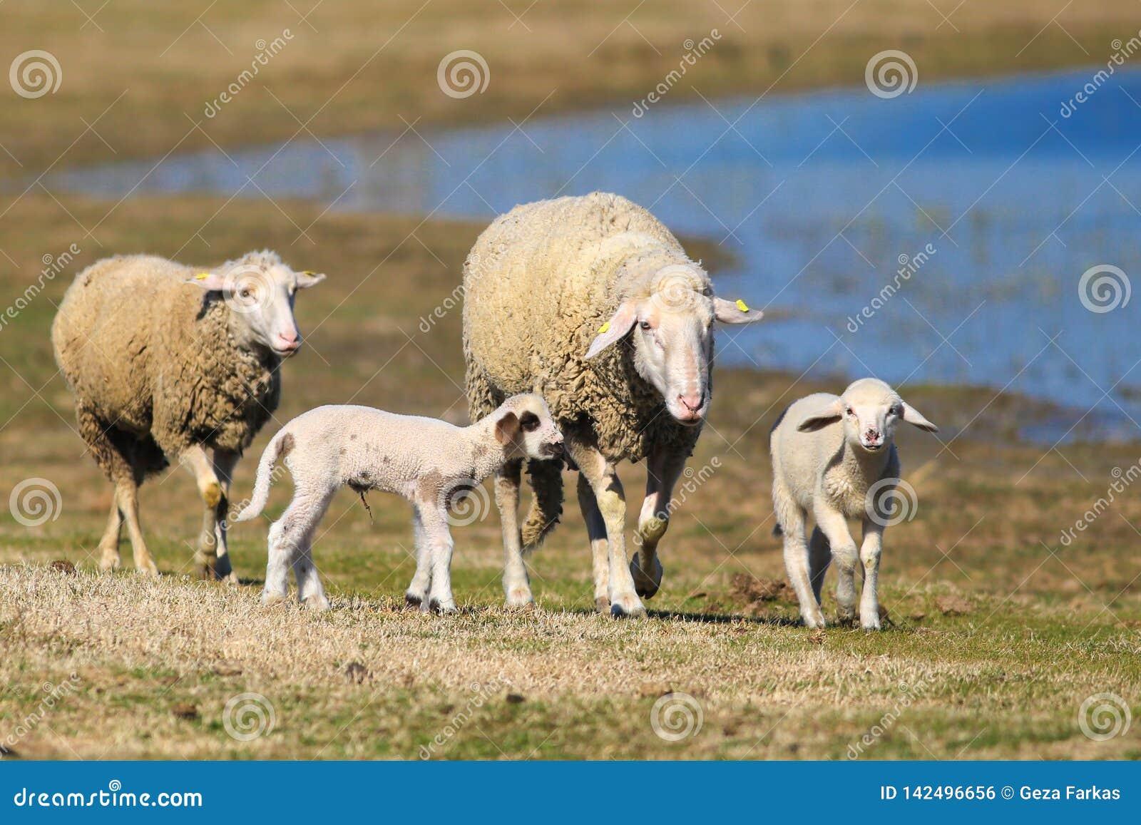 Multitud de ovejas y de corderos en el pasto