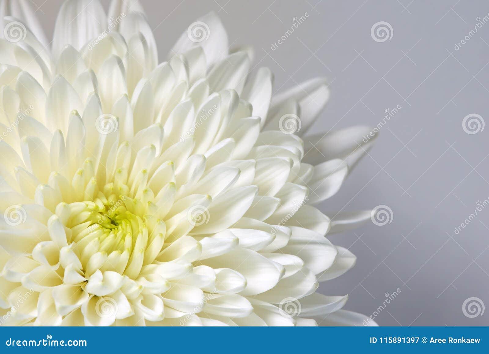 Mum white flower white flower stock image image of white macro download mum white flower white flower stock image image of white macro mightylinksfo