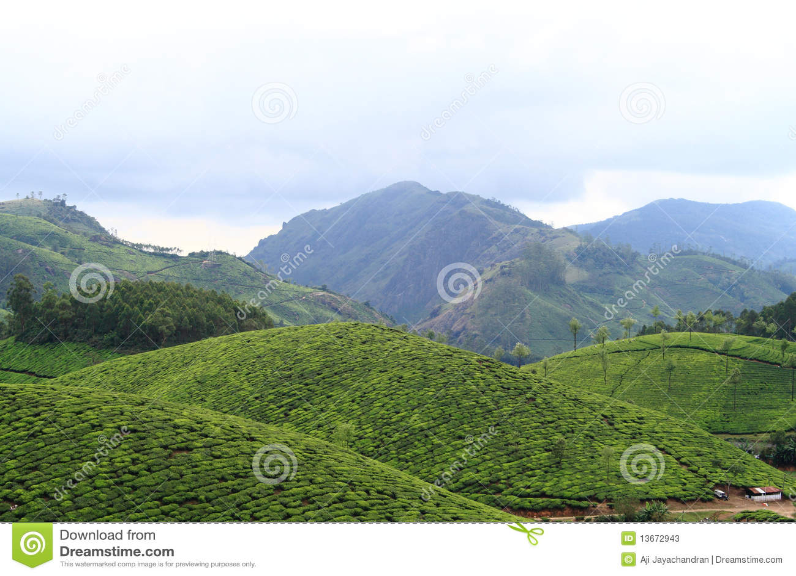 Munnar种植园茶