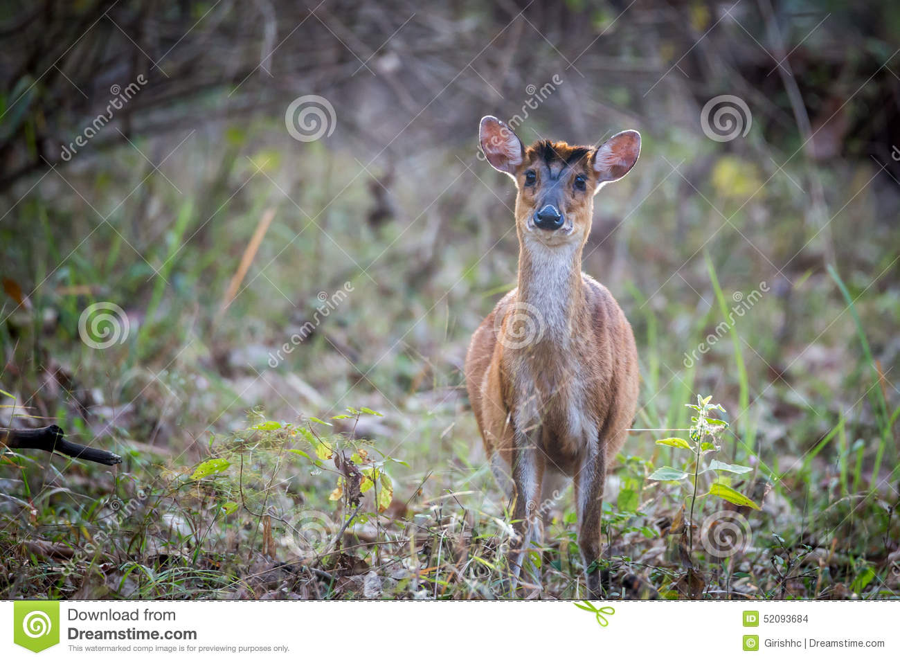 Muntjac Deer In Habitat On A Winter Morning Stock Photo Image Of