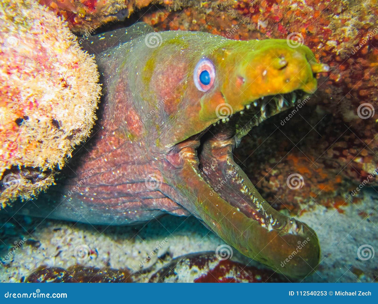 Murena węgorz podwodny przy Galapagos wyspami pokojowy Ecuador