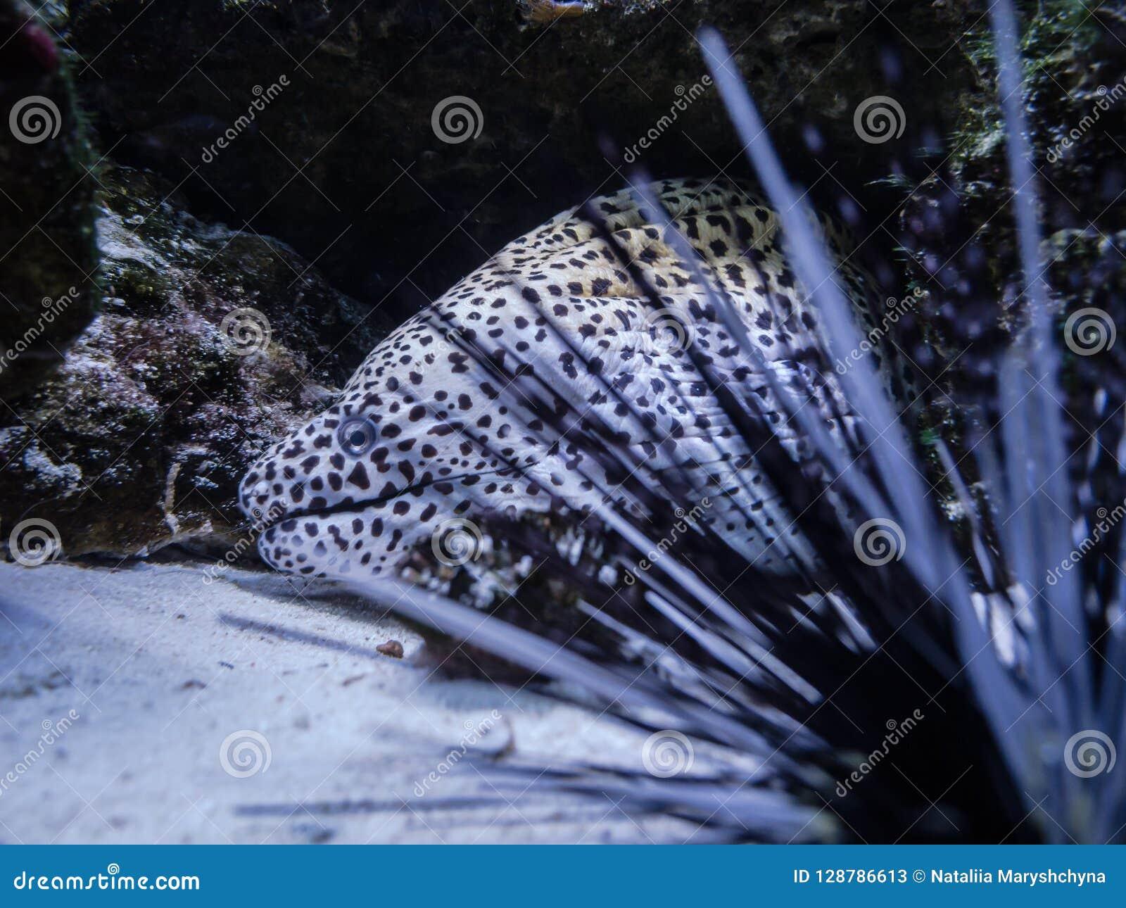 Murena węgorza akwarium w Kijów Dennego czesaka igły