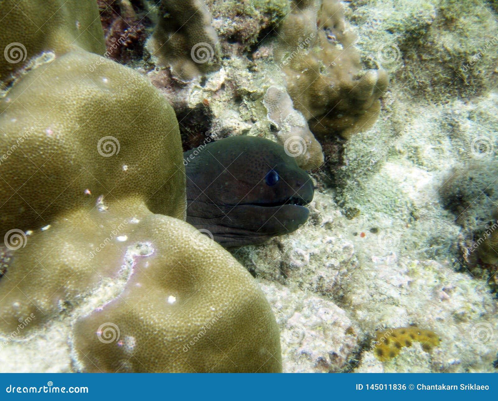 Murena węgorza potrącenie głowa z rafy koralowej