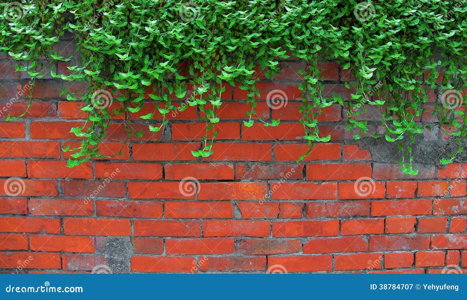 Murgröna på den gamla tegelstenväggen