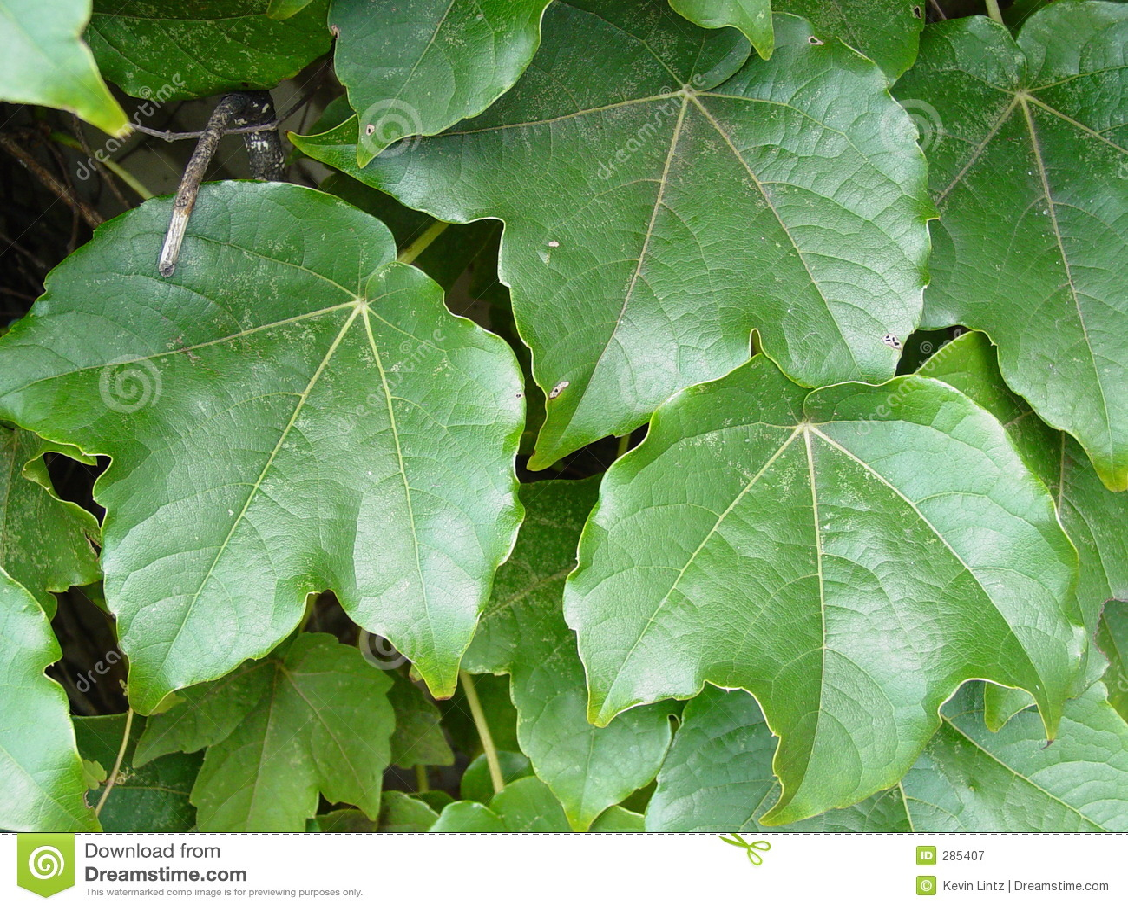 Murgrönaleaves