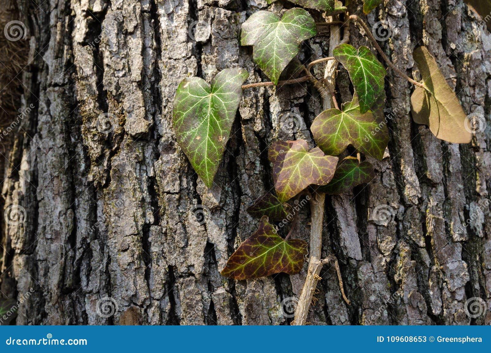 Murgrönan tände vid solljus, den lösa vinrankan för giftmurgrönan som isolerades på det grova skället som klättrar på den gamla e
