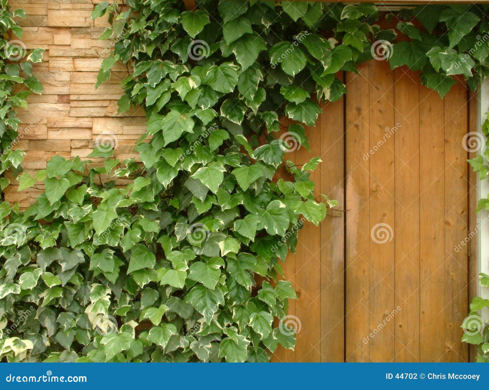 Murgrönavägg