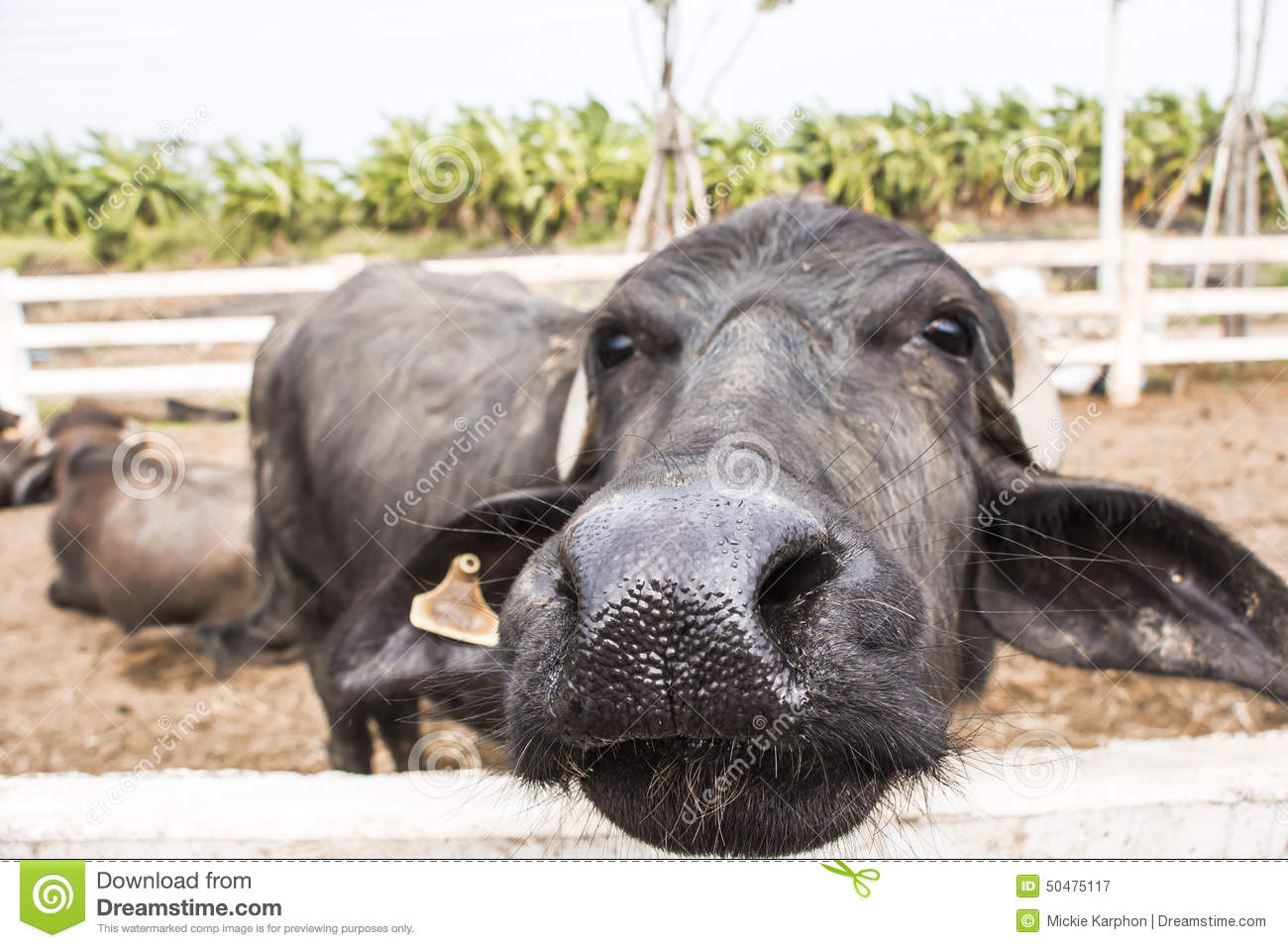 Murrah buffalo nose stock image  Image of water, grass