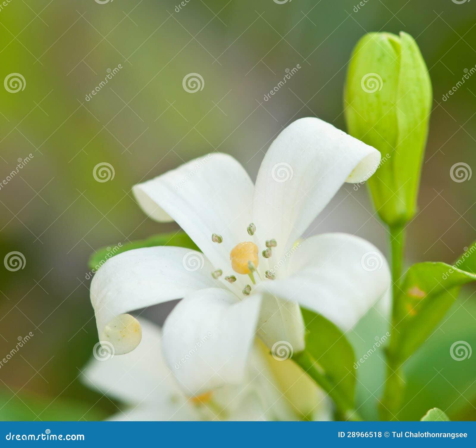 Murraya paniculata dźwigarki kwiat