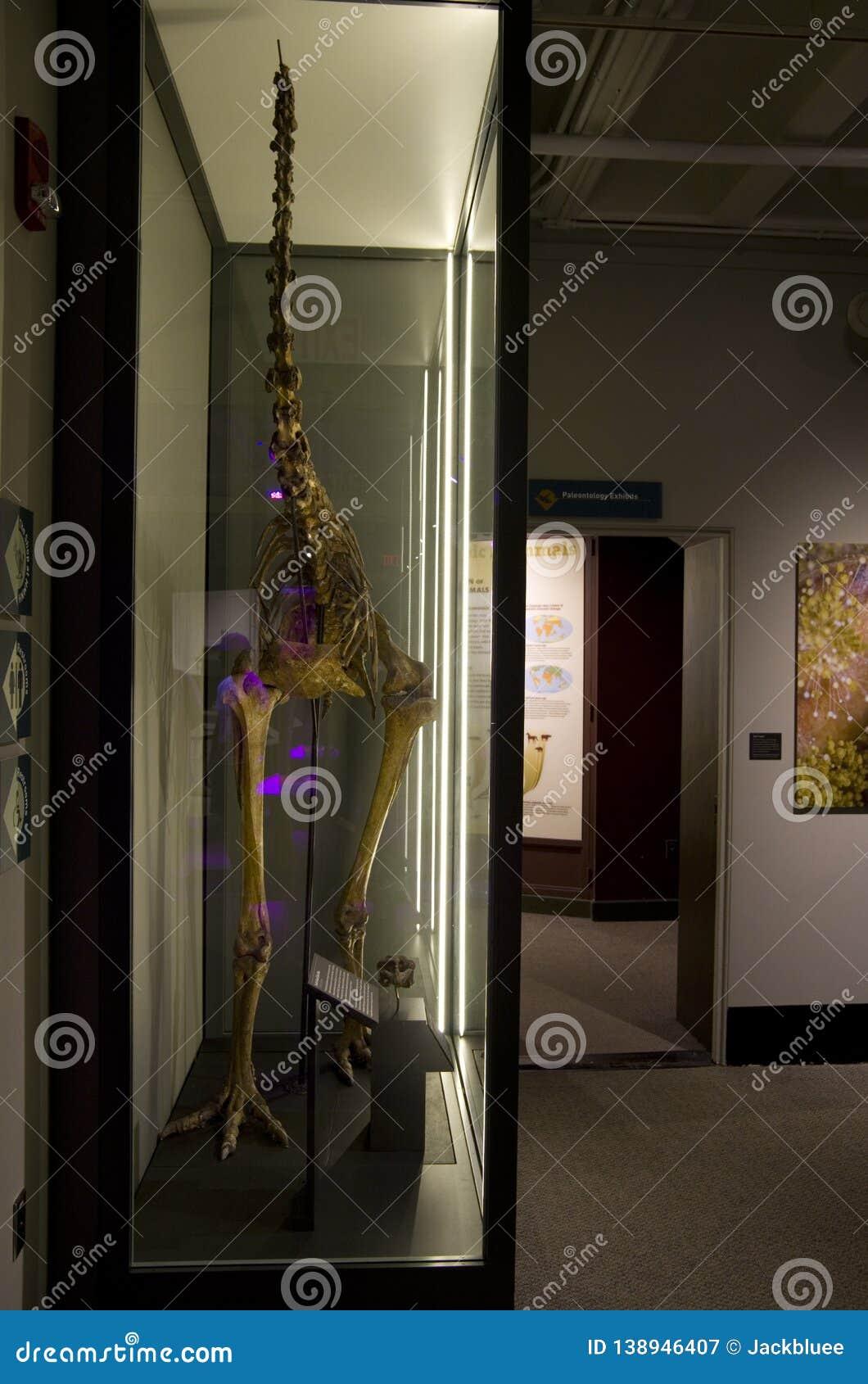 Mus?e de Harvard de squelettes de dinosaure d histoire naturelle