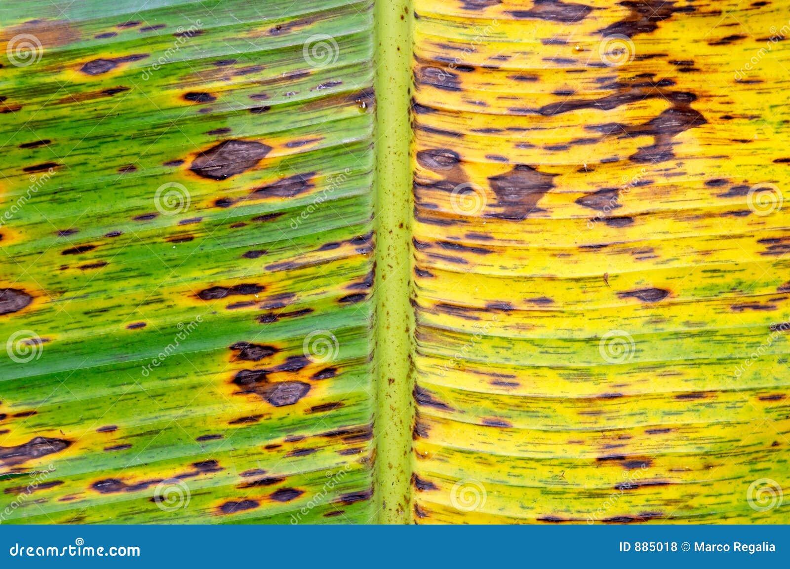Musa sapientum banana liściach drzewa