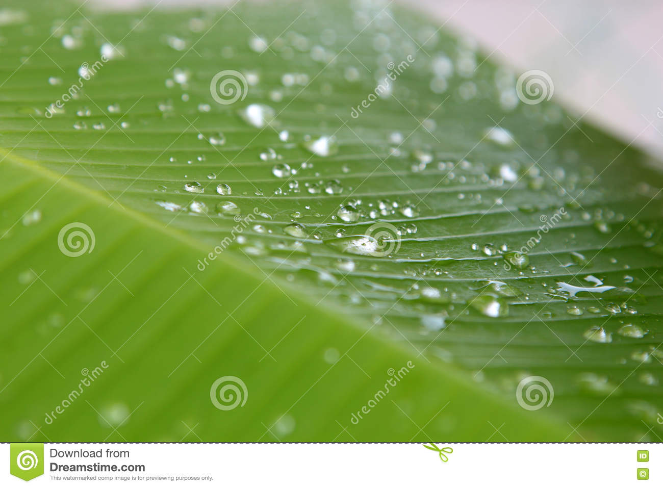 Musa sp. Banana Leaf with water droplet drop dew