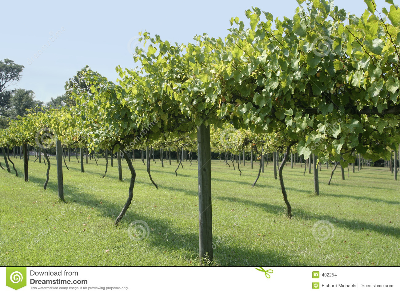 charming how to grow muscadine grapes Part - 9: charming how to grow muscadine grapes idea