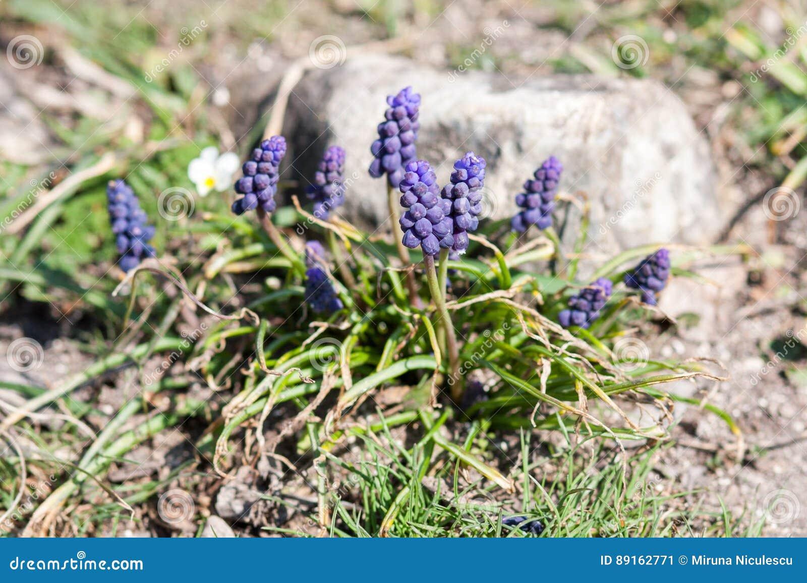 Muscari armeniacum botryoides oder Traubenhyazinthe