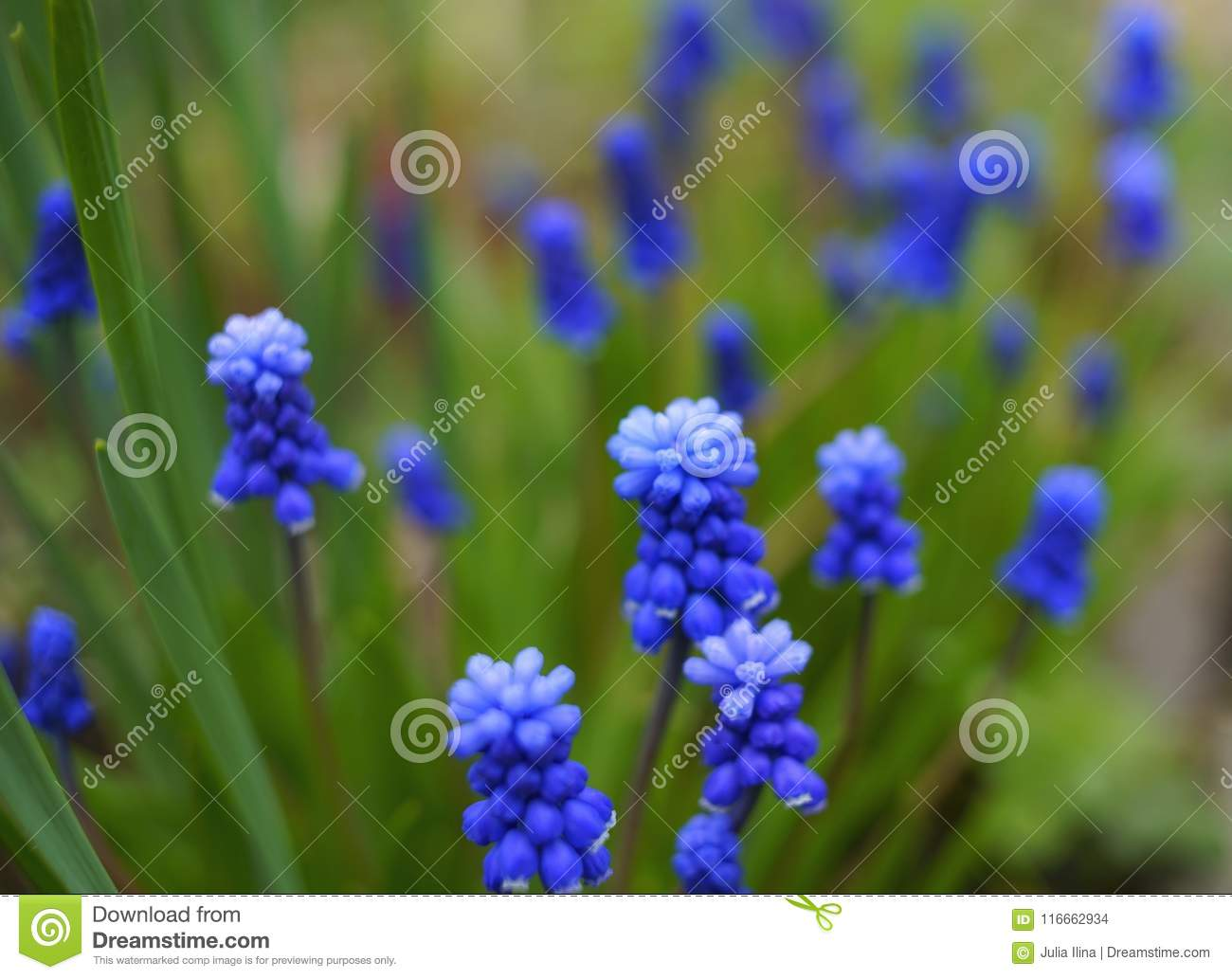 muscari hyacinth blue flower green leaf textured macro close-up outdoors nature garden day