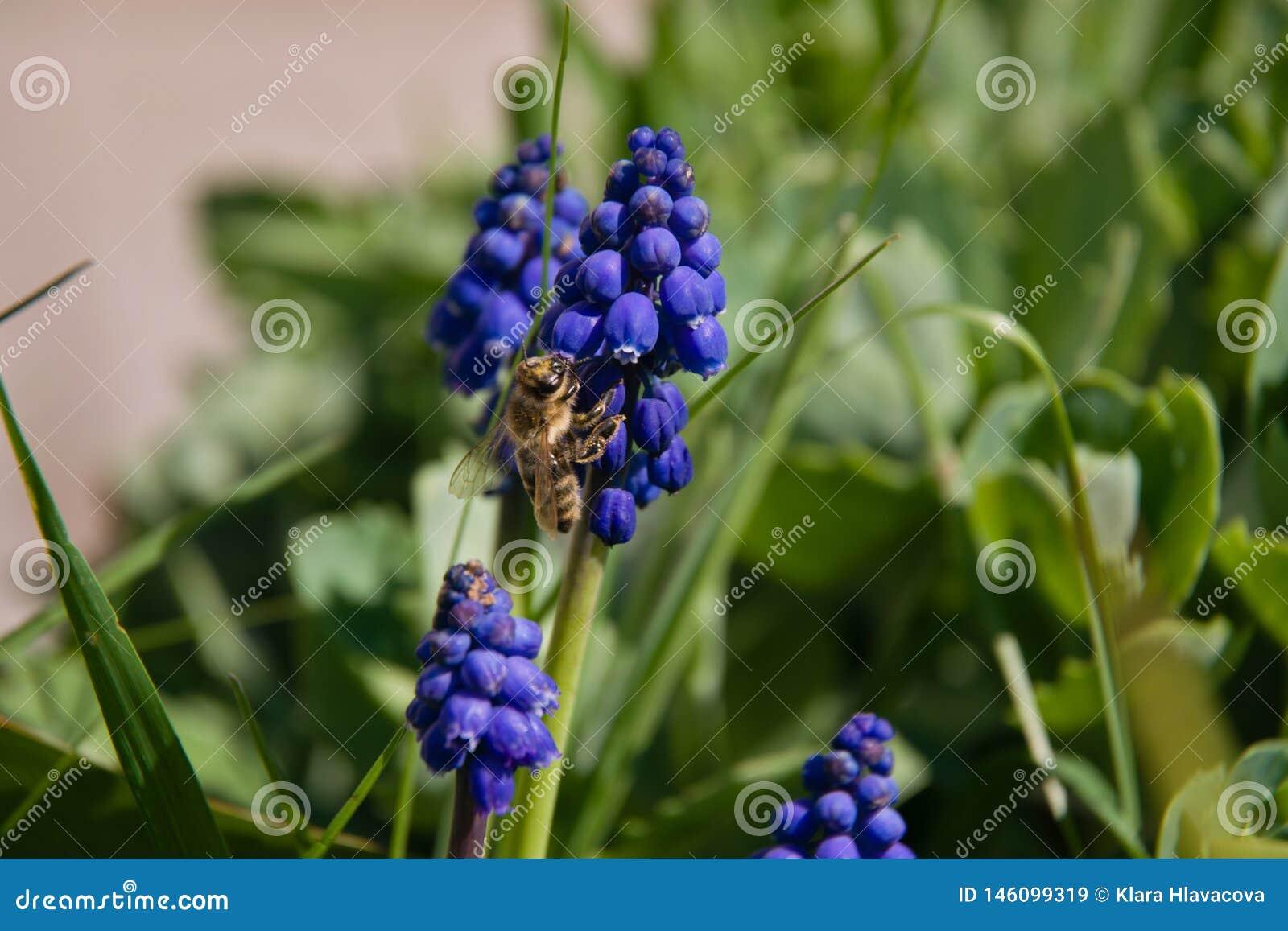 Muscari y abeja azules en hierba