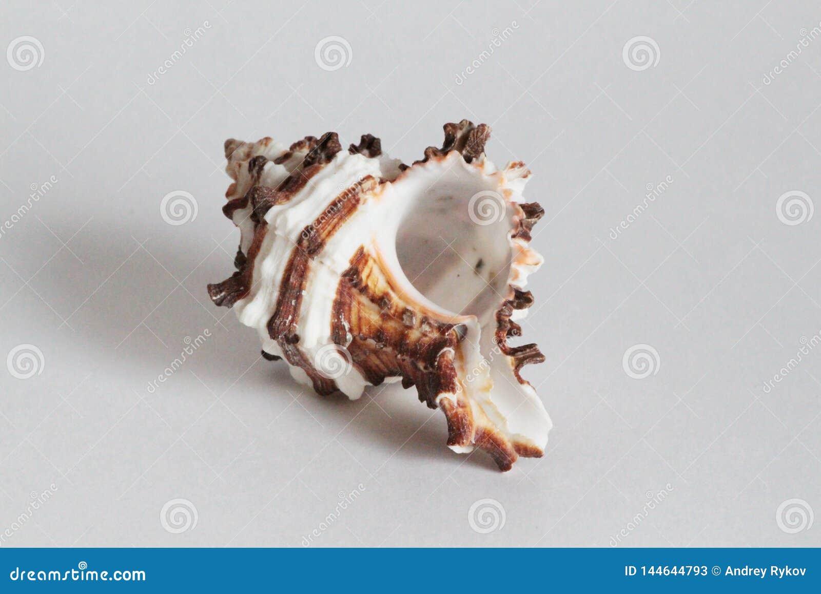 Muschel von Winterendivie Murex auf grauem Hintergrund