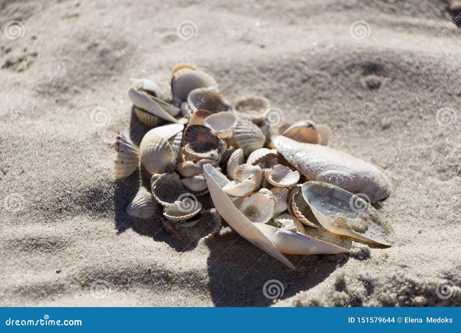 Muscheln von verschiedenen Arten und von Größe auf sauberem Sand