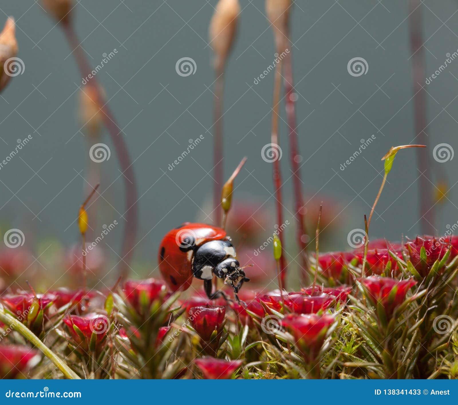 Muschio e coccinella rossi