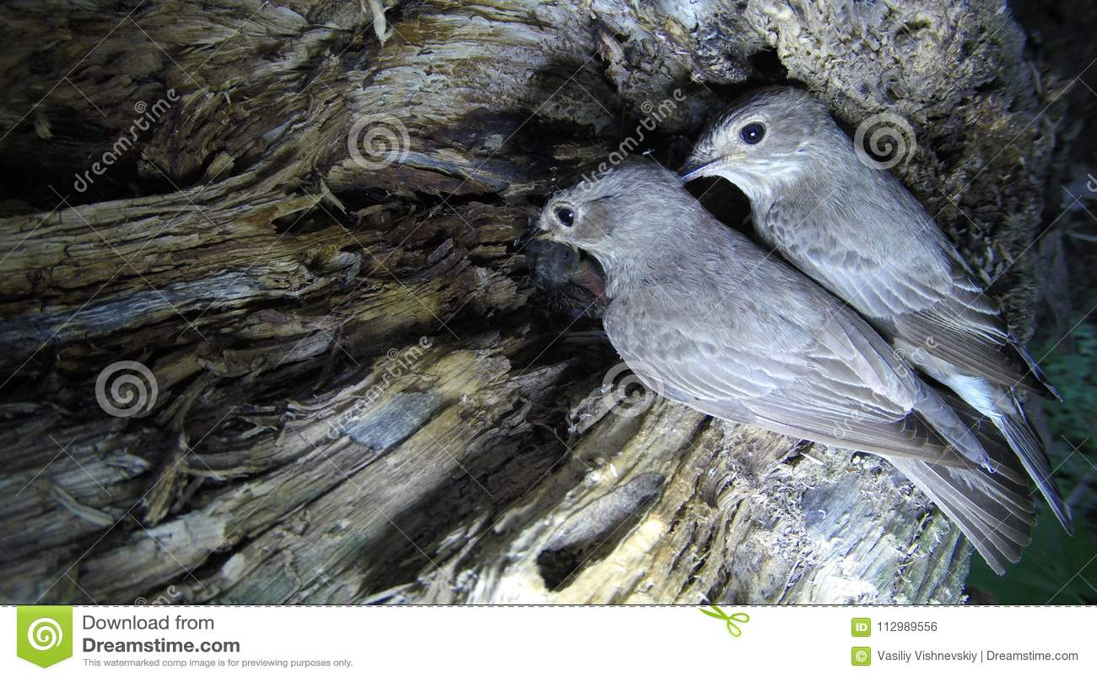 Flycatcher Muscicapa striata