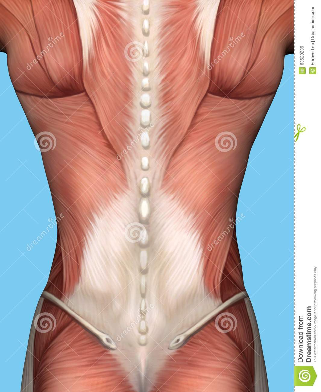 Muscle Anatomy Of Male Back. Stock Illustration - Illustration of ...