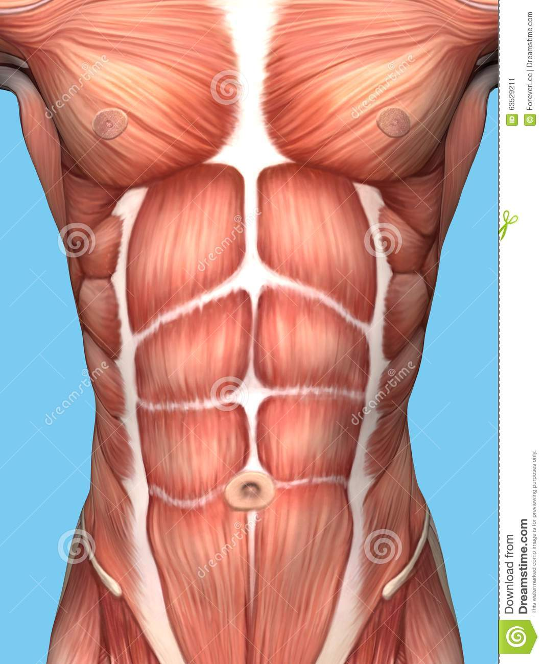 Muscle Anatomy Of Male Chest Stock Illustration Illustration Of