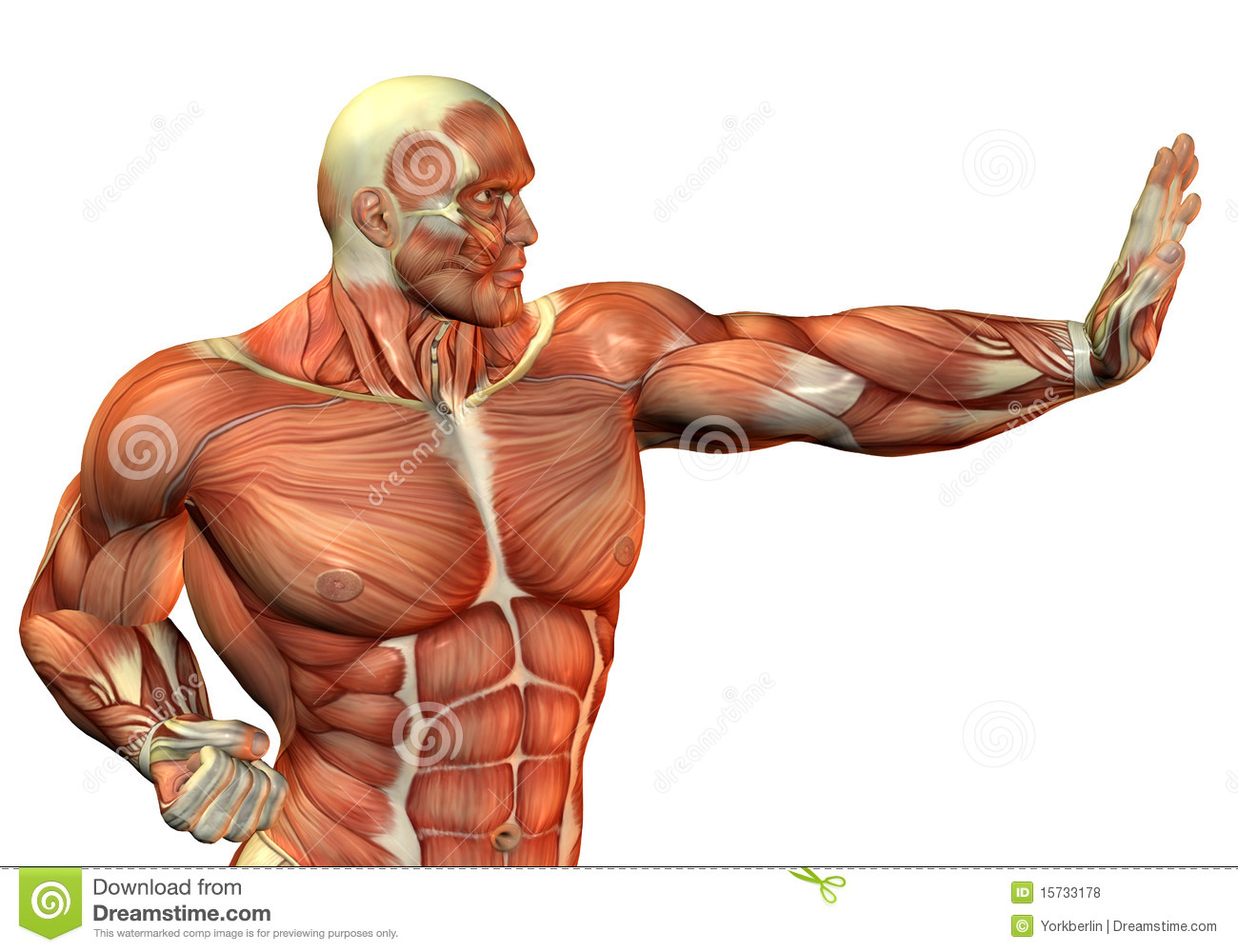 muscle head and upper body stock images - image: 32857544, Muscles