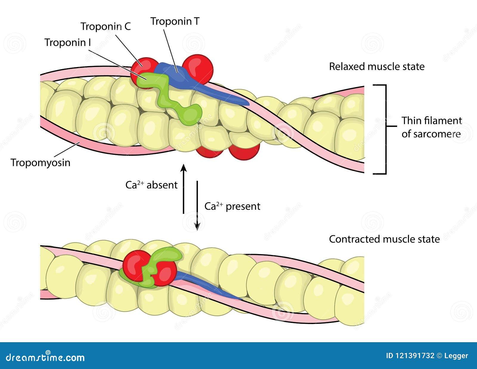 mechanics of muscle contraction