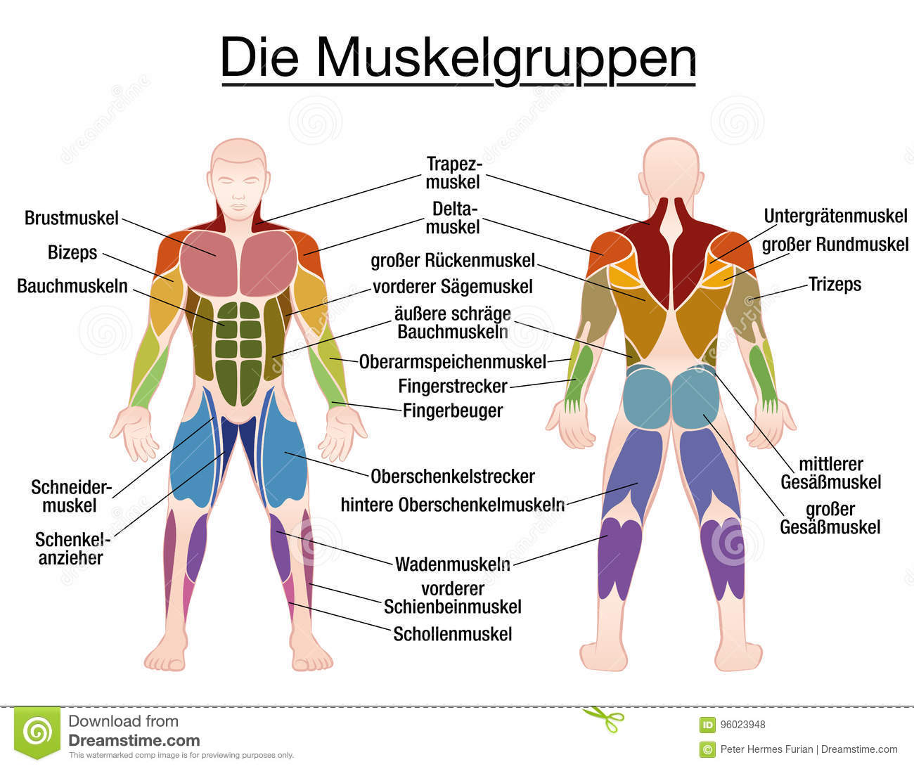 Muscles chart description muscular body man stock vector muscle diagram german text male body royalty free stock photos ccuart Image collections