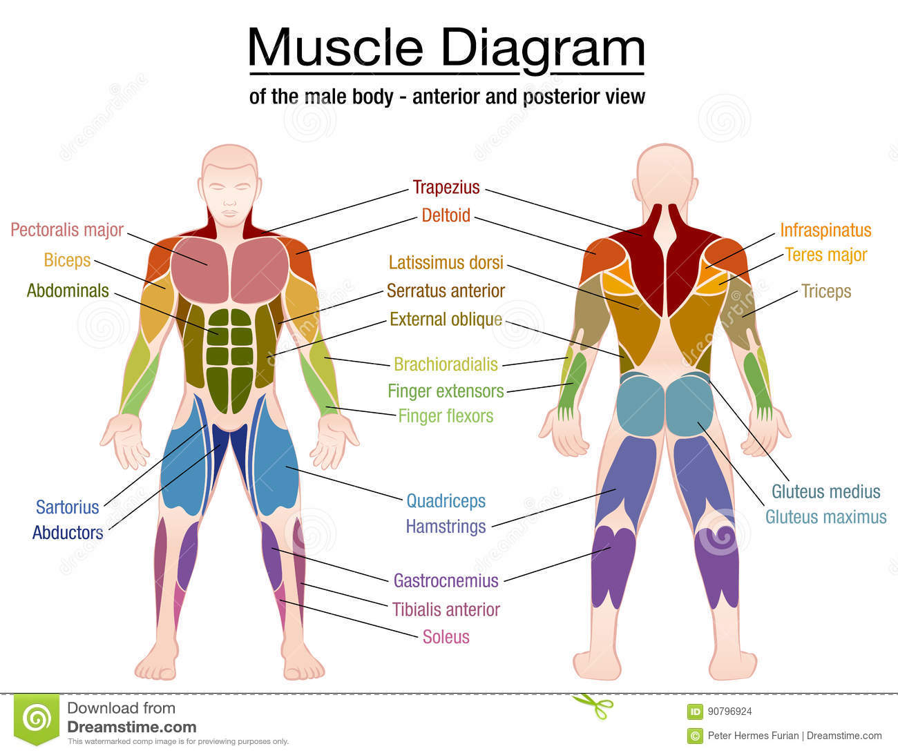 muscle diagram male body names stock vector - image: 90796924, Muscles