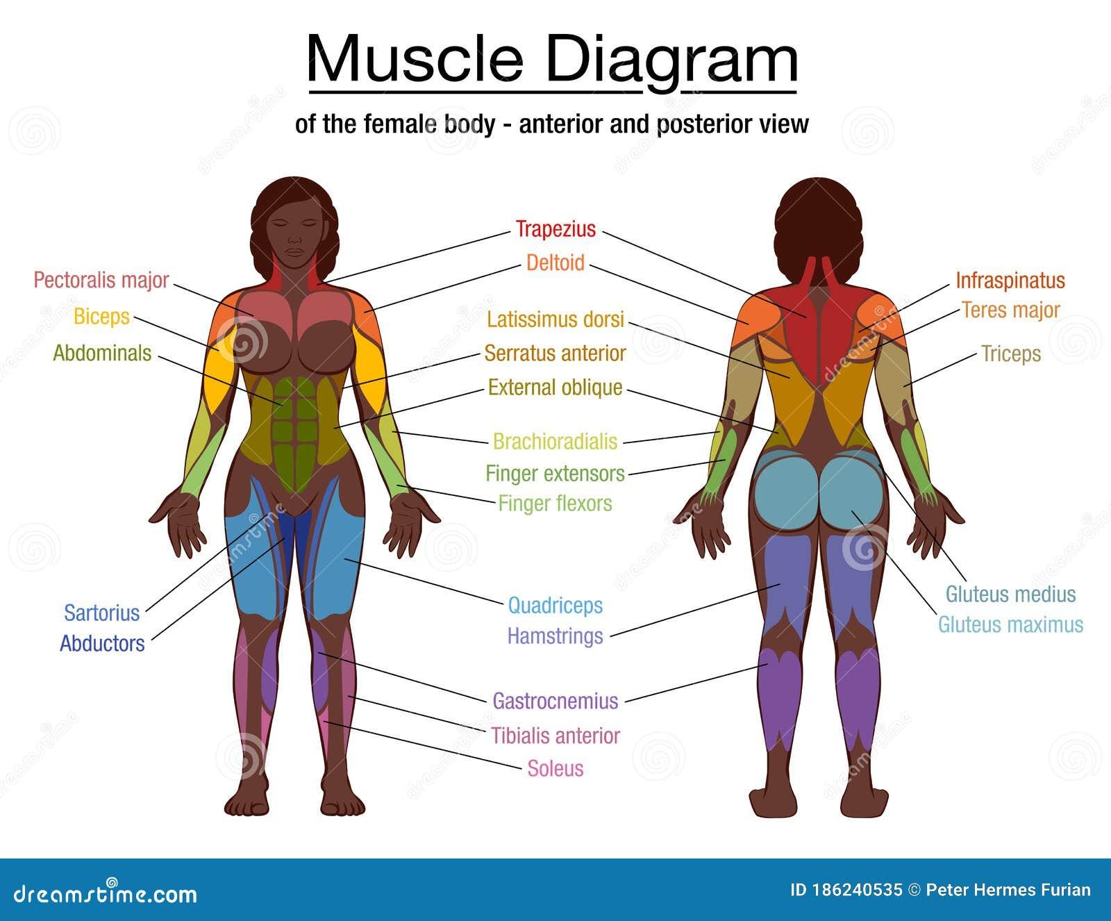 Muscle Diagram Black Woman Female Body Names Stock Vector ...