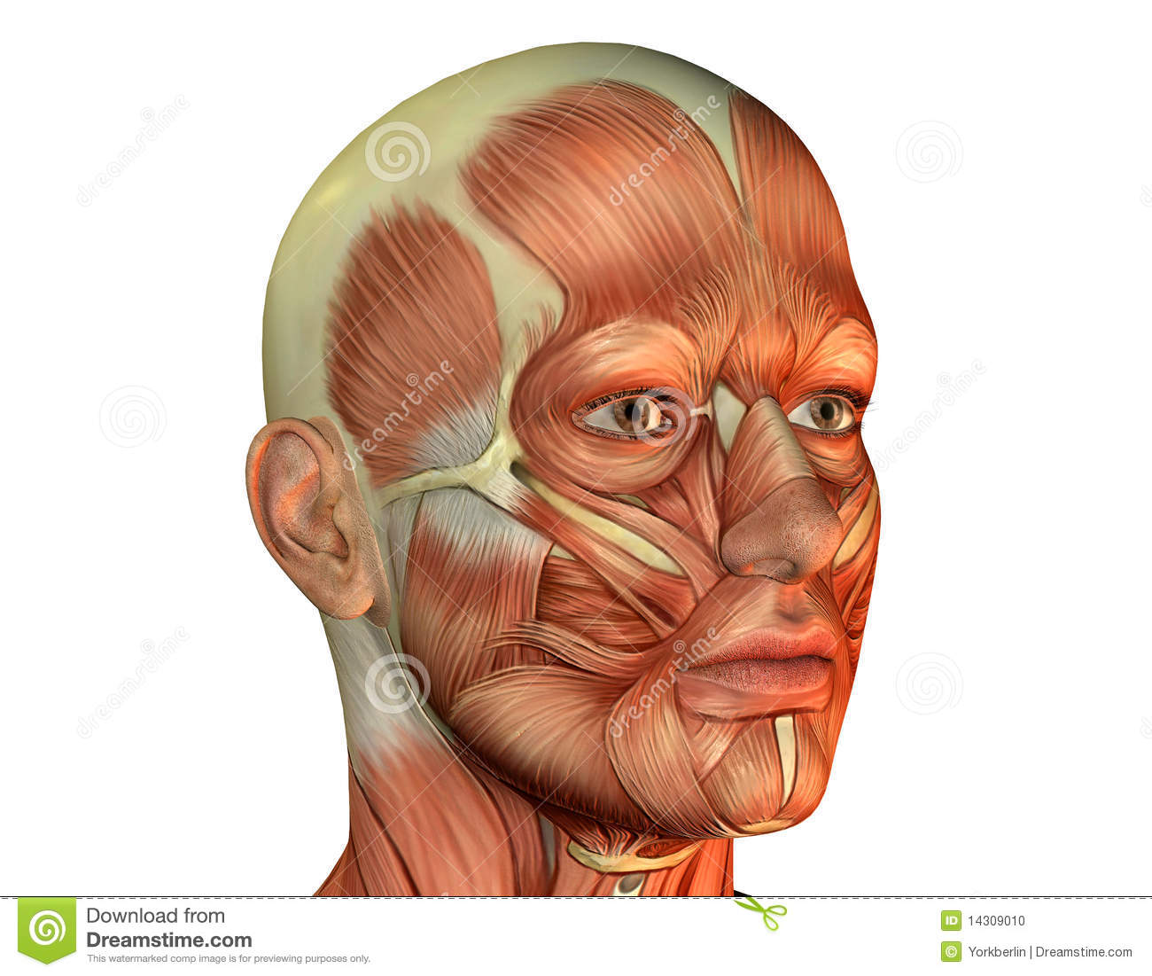 inside of face diagram muscle head man stock photo image 14309010  muscle head man stock photo image 14309010