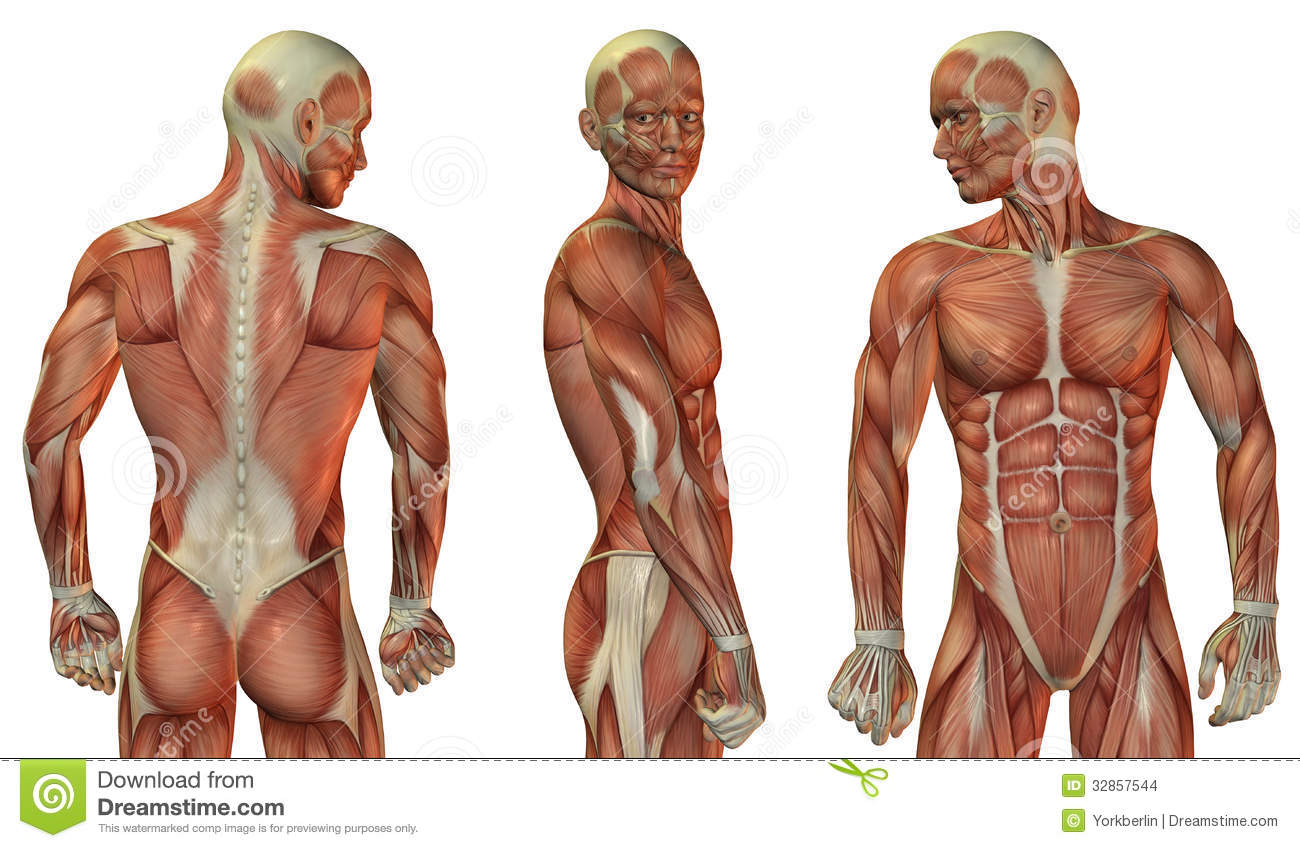 Muscle Head And Upper Body Stock Illustration Illustration Of