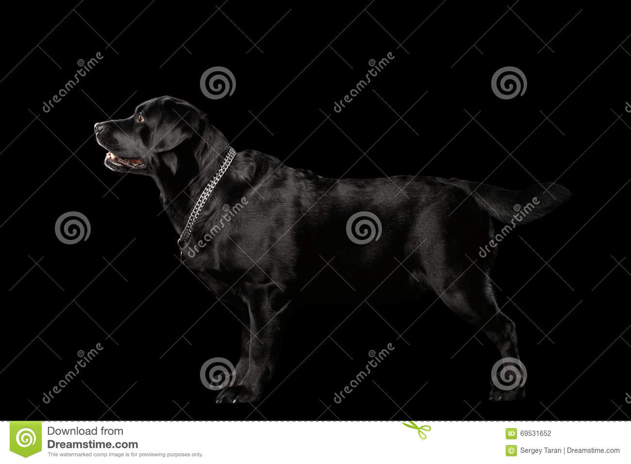 Download Muscle Labrador Dog Standing In Profile View, Isolated On Black Stock Photo - Image of labrador, eyes: 69531652
