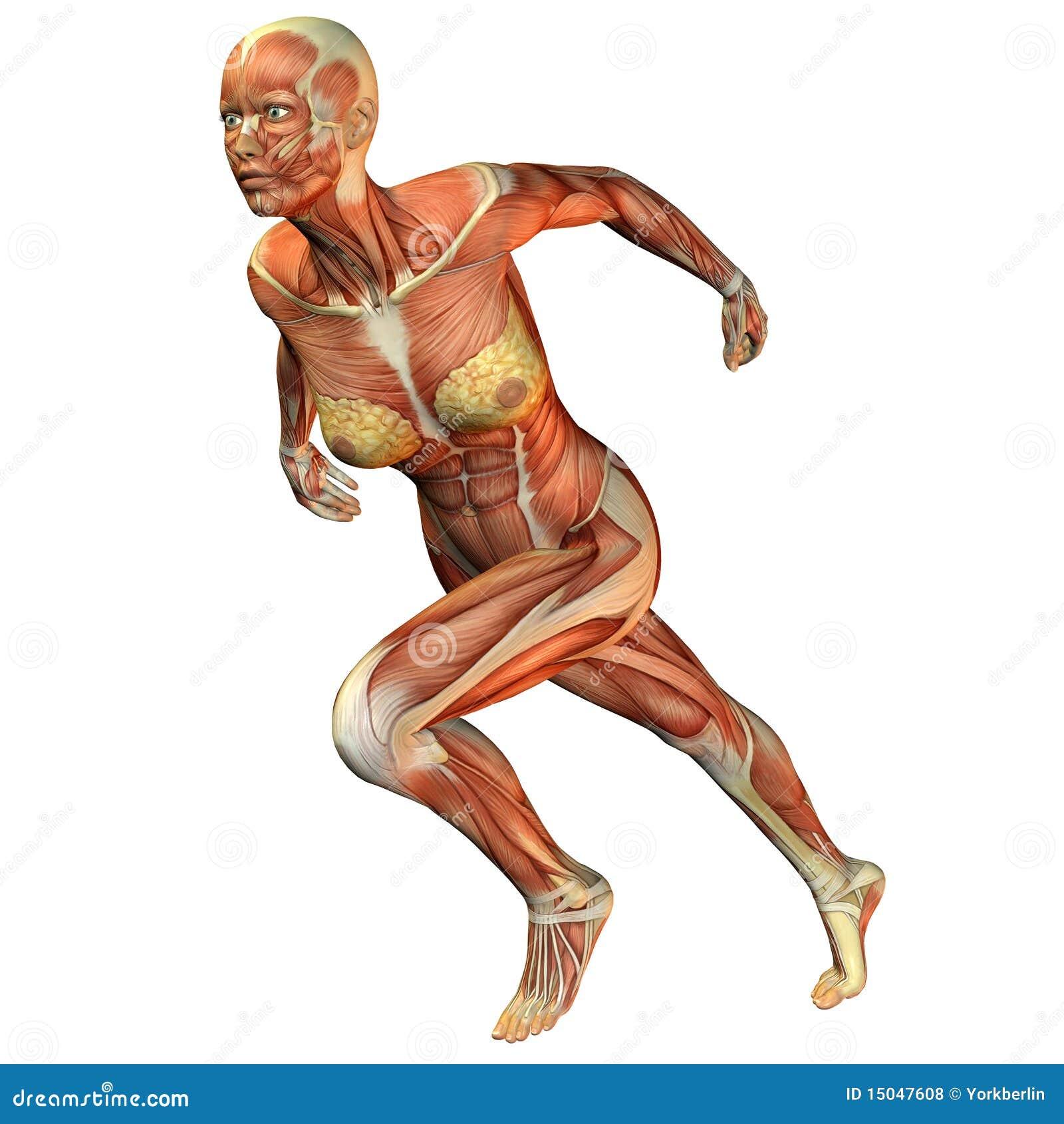 Muscle le fonctionnement de femme