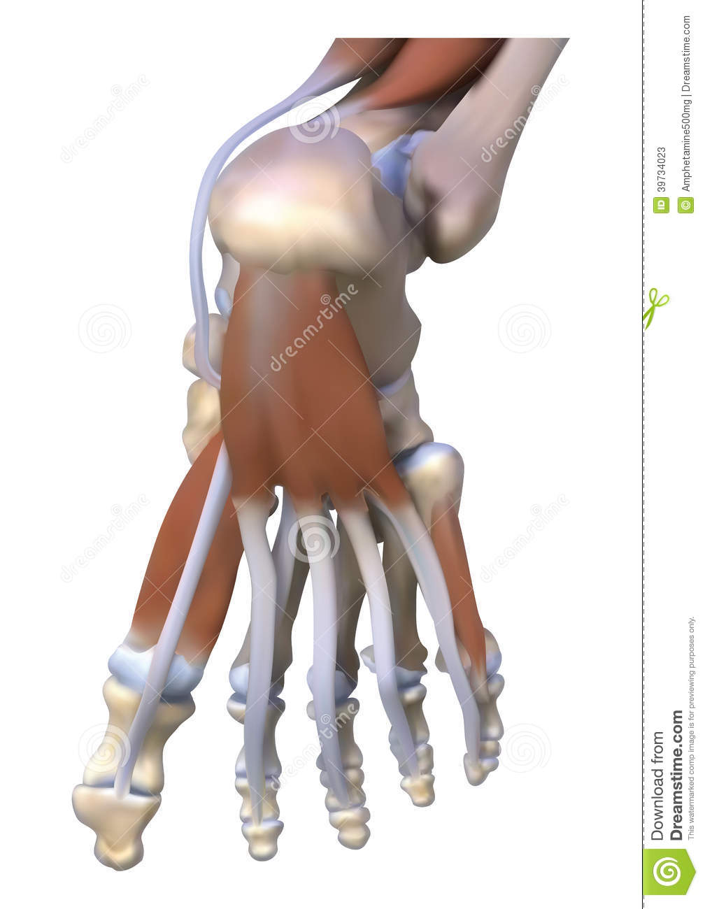 Muscle Ligaments Under The Feet Stock Illustration - Illustration of ...