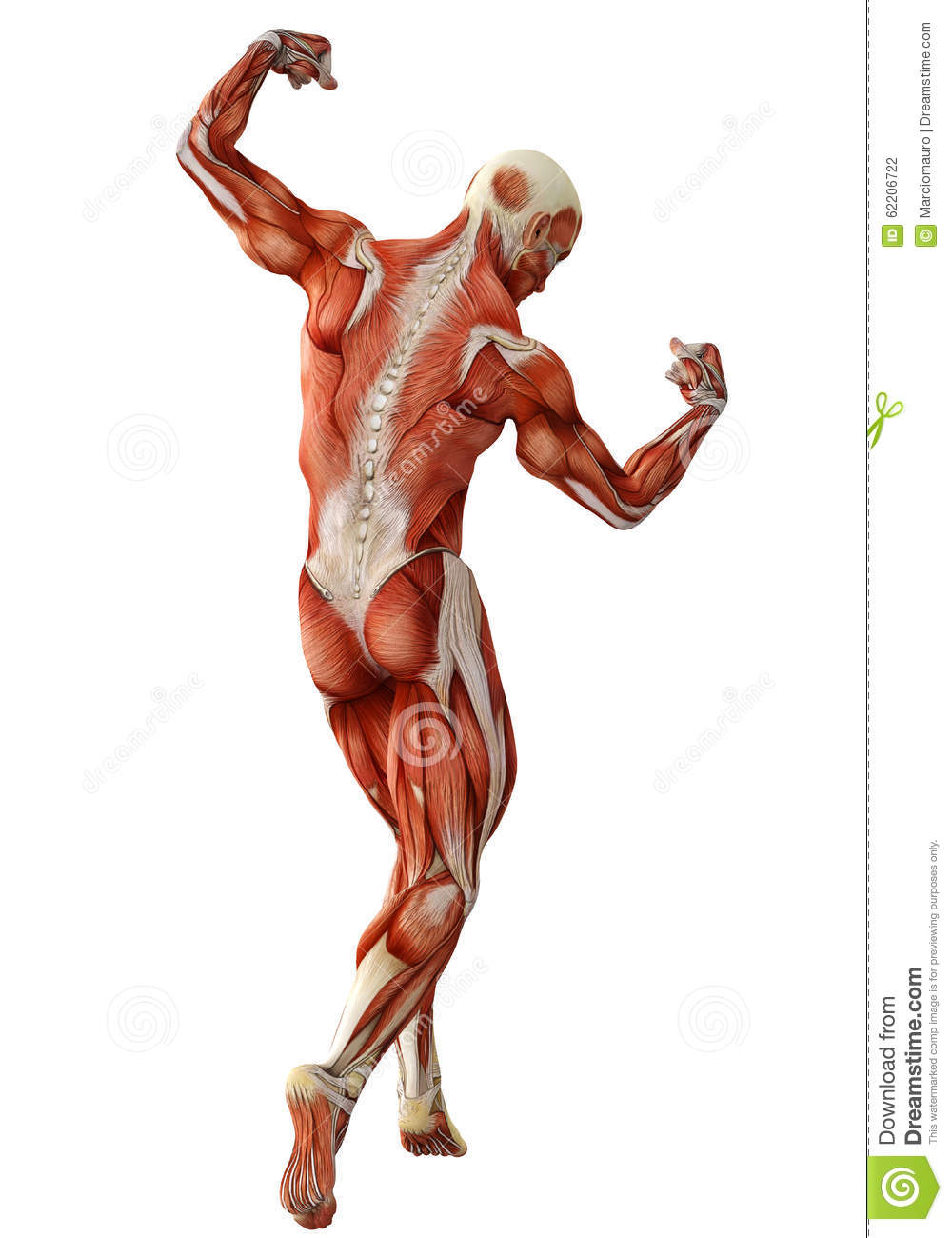 muscle man back view stock illustration - image: 62206722, Muscles